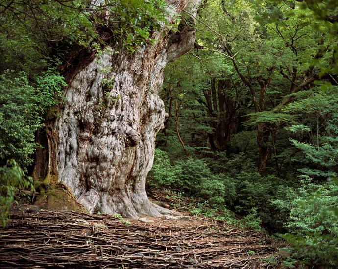 Thông liễu là loài cây già nhất thế giới